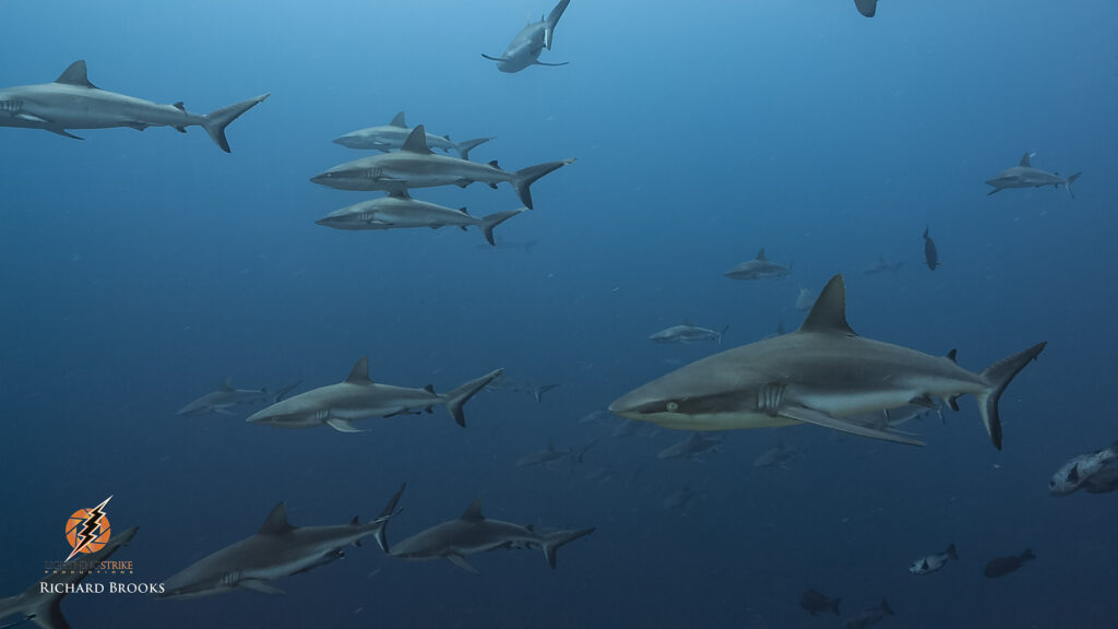 shark aggregation wildlife fixer filming underwater services palau