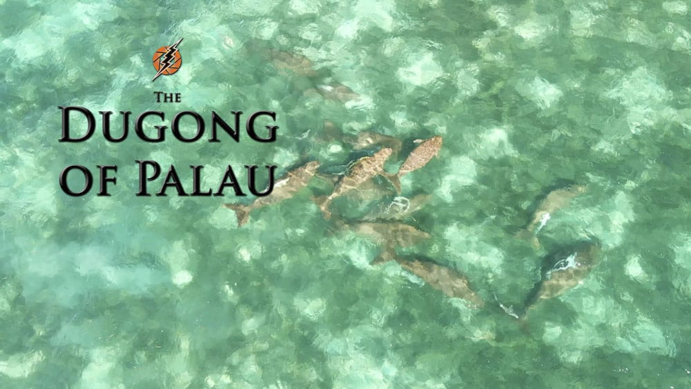 Aerial shot of Dugongs