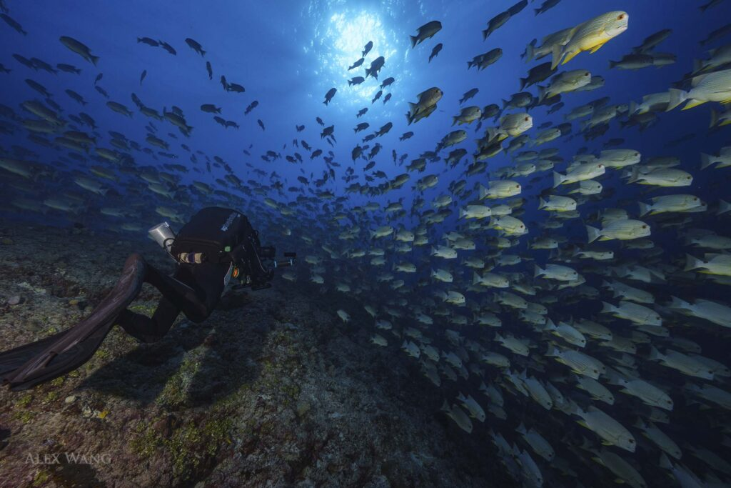 Underwater camera Operator Richard Brooks filming a spawning aggregation in Palau using a Rebreather. Closed Circuit Rebreather (CCR)